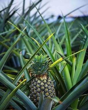 Como Plantar Abacaxi: Truques e Dicas Fáceis Para Cultivar em Casa