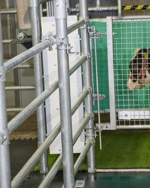 Mudanças climáticas: cientistas treinam vacas para usar banheiro contra aquecimento global