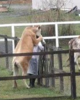A Fazenda 13: Vaca 'monta' em Nego do Borel