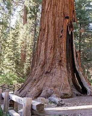 Incêndio nos EUA ameaça destruir maior árvore do mundo