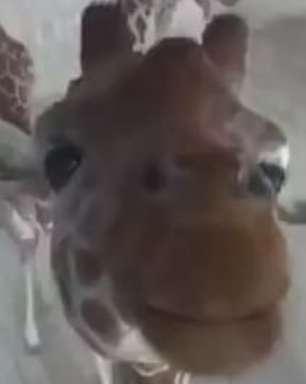 Girafa curiosa 'descobre' câmera de segurança