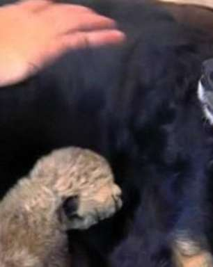 Cão cuida de filhotes de guepardo que perderam a mãe