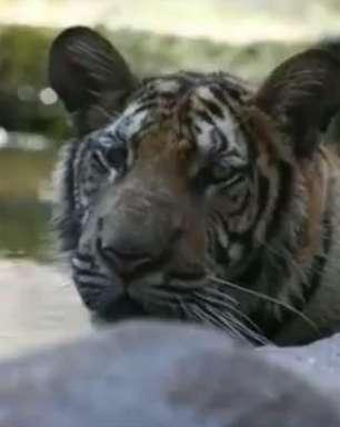 Templo dos Tigres da Tailândia pode ser transformado em zoo