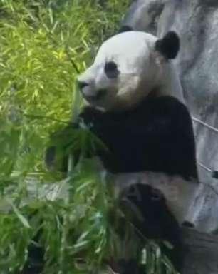 Zoológico nos EUA se prepara para despedida de panda-gigante