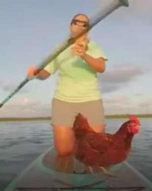 Galinha doméstica curte passeio de stand up paddle