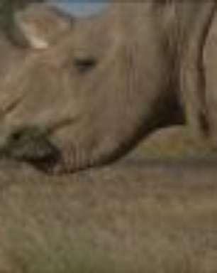 A morte do último rinoceronte-branco-do-norte macho do mundo