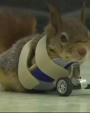Rodas protéticas ajudam esquilo a recuperar movimentos