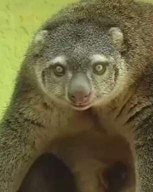 Raro cuscus-urso nasce em zoológico na Polônia
