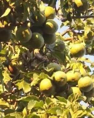 Pés de abacate no centro de Cascavel têm incomodado pedestres e motoristas