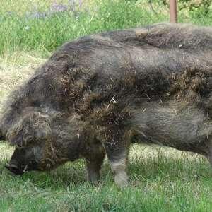 Fazendeiro passa mal e é devorado por seus 12 porcos