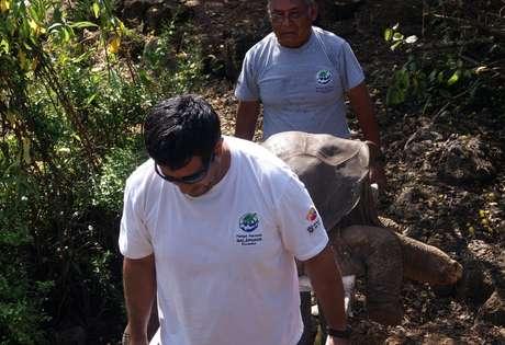 """En esta foto distribuida por la Dirección del Parque Nacional Galápagos, el cuerpo de la tortuga terrestre gigante de las Islas Galápagos, conocida popularmente como el """"Solitario George"""" es transportado en una camilla el domingo 24 de junio de 2012. El centenario macho murió el domingo."""