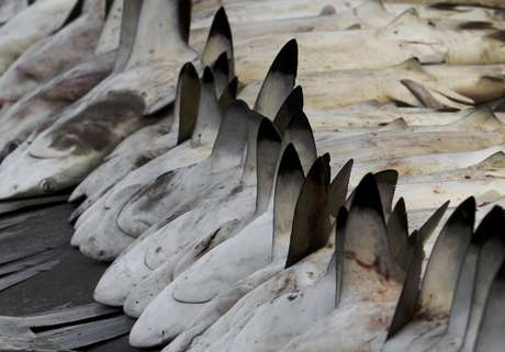 En esta fotografía del martes 12 de junio de 2012, se ven tiburones alineados en un mercado de pescado en Dubai , Emiratos Arabes Unidos. El comercio global de aleta de tiburón suma cientos de millones de dólares al año, y decenas de millones de tiburones deben ser atrapados en todo el mundo por sus aletas.