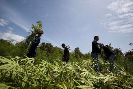 Plantaciones de marihuana en Ohio pertenecerían a los cárteles mexicanos. Así, evitarían pasar la droga por la frontera.