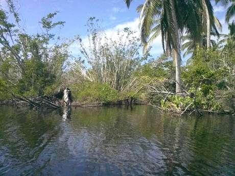 Los residentes de la comunidad pusieron manos a la obra para reforestar la laguna, misma qué perdió entre 60 y 70 por ciento de su manglar, principalmente el blanco, especie que se encarga de filtrar la sal del agua.