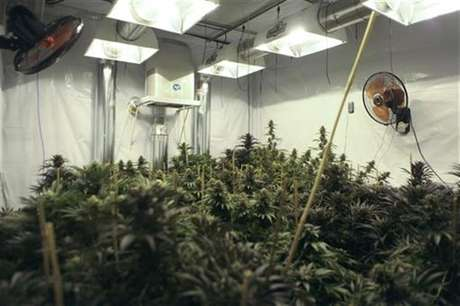 A marijuana plant is seen as officers of Baja California's State Preventive Police (PEP) search for more plants near Hongo in the municipality of Tecate in Baja California, in this August 29, 2012 file photo.