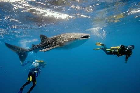 Diferente do filme Tubarão, animais marinhos encontrados nas Bahamas, México e St. Maarten apresentam comportamento dócil