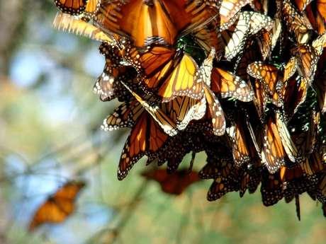 Contempla el vuelo de las mariposas monarca desde su santuario.