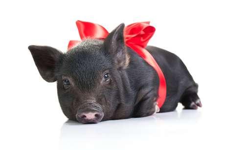 Um porquinho foi encontrado no quarto de um hotel, após ser esquecido pelo dono