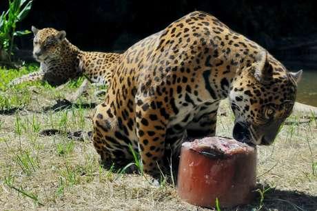 As altas temperaturas do verão fizeram o Gramadozoo, na Serra Gaúcha, dar picolés de carne e peixe para os pumas (<i>Puma concolor</i>) e as onças-pintadas e pretas (<i>Panthera onca</i>). Segundo o zoológico, a medida ainda serviu para diminuir o estresse do cativeiro