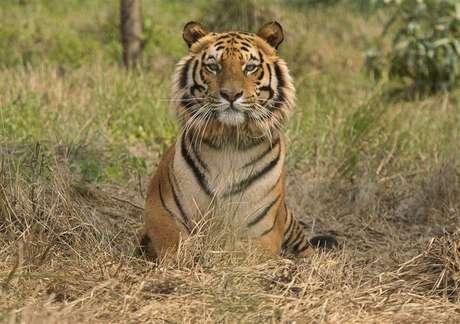 <p>Tigre-de-Bengala descansa no centro de resgate de tigres do santuário de vida selvagem de Jaldapara, na Índia, em fevereiro de 2010</p>