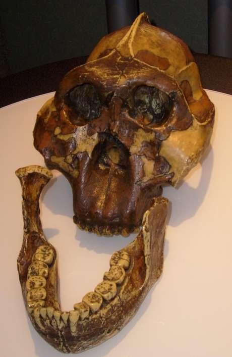 Crânio do Australopithecus boisei - um dos primeiros hominídeos que viveram no Leste da África - foi descoberto por Mary Leakey em 1959