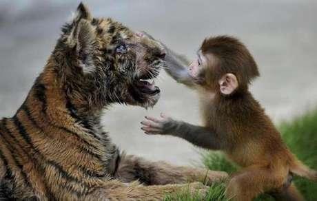 La naturaleza presenta escenas impactantes. En esta colección de imágenes, animales domésticos y salvajes conviven en tranquilidad. Tigres, micos, perros, hipopótamos, perros y gatos, son los protagonistas.