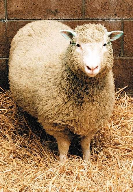 <p>Hoy hace 10 años murió Dolly, la primer oveja clonada en el mundo. En la actualidad este ejemplar está expuesto disecado en una vitrina de vidrio en el Royal Museum de Edimburgo. El nacimiento de la oveja clonada desató en todo el mundo una discusión sobre la ética en la ciencia. Es que los investigadores encabezados por Ian Wilmut, del Instituto Roslin, cerca de Edimburgo, lograron obtener una copia exacta de un mamífero.</p>