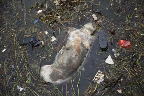 <p>Porco morto boia em rio de Xangai, na China, de onde mais de 15 mil animais estão sendo retirados</p>
