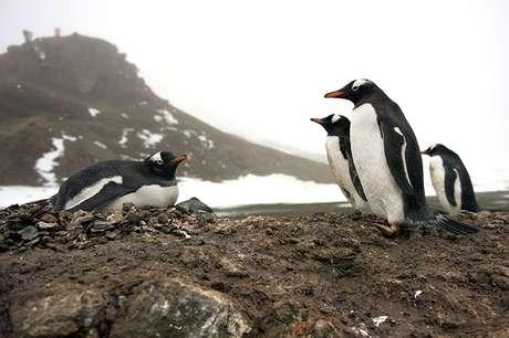 <p>Los expertos continúan advirtiendo a la comunidad global sobre el ritmo alarmante de la desaparición del hielo en la Península Antártica, que pone en riesgo directo la existencia de al menos la mitad de las 18 especies de pingüinos en el mundo, que dependen del hielo y las aguas gélidas donde habita el krill, la principal dieta de éstos.</p>