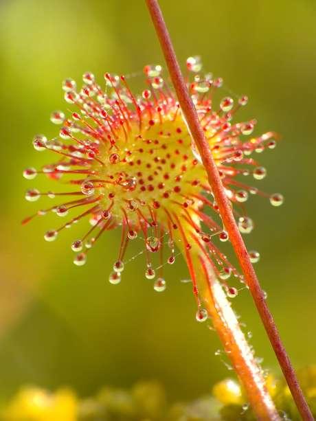 <p><strong>Drosera rotundifolia</strong><br />Apesar de ser um ingrediente improvável, esta planta carnívora, que possui um néctar doce e pegajoso para atrair moscas, também é utilizada na fabricação de bebida alcóolica. A receita, que inclui a planta, juntamente com ervas e especiarias, é consumida desde 1600</p>