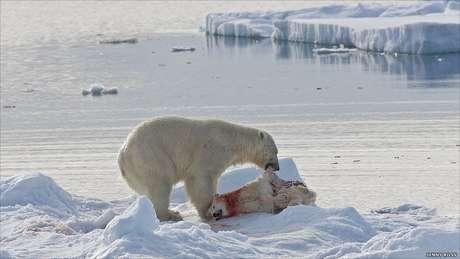 Em outras ocasiões, os ursos machos adultos chegam a comer filhotes devido à falta de alimentos.