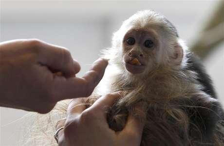 <p>Mally, macaco de estima&ccedil;&atilde;o do cantor Justin Bieber</p>