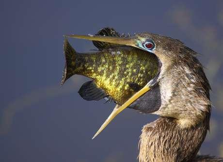 Javier Parrilla Perez flagrou um momento em que uma ave exagerou na gula e quase não conseguiu engolir a presa