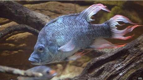 En el Zoo de Londres describen a estos peces como inusuales en su comportamiento y maravillosamente feos.