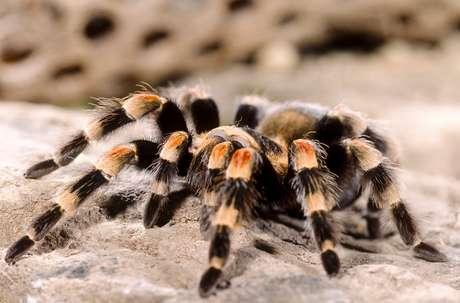 <p>A aranha é, tradicionalmente, frita no óleo quente, com sal, açúcar, alho e pimenta pelos venezuelanos</p>