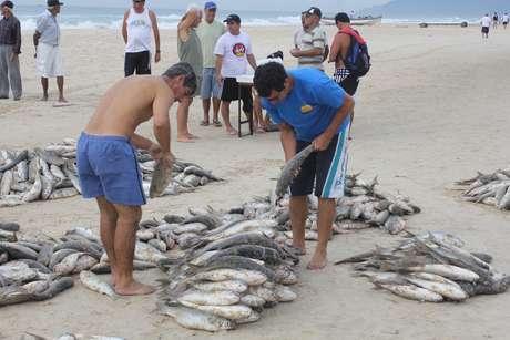 No primeiro dia da temporada de pesca da tainha, pescadores artesanais conseguiram capturar mais de duas toneladas do peixe na praia do Campeche, localizada na região sul de Florianópolis, nesta quarta-feira
