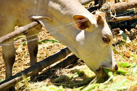 Na medida certa, a troca de alimentos proteicos por milho pode gerar maior produção e menor impacto ao ambiente