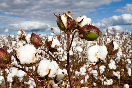 Falta de algodão de qualidade no Brasil deve manter preço alto