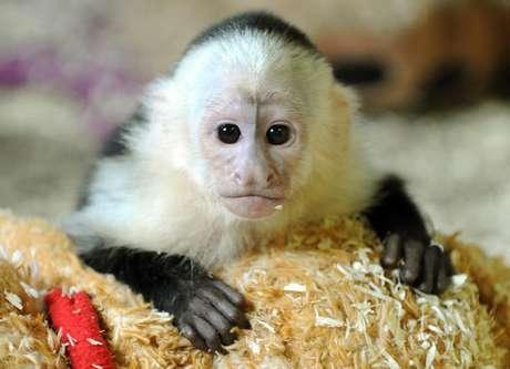 <p>Um macaco que pertenceu ao popstar canadense Justin Bieber foi levado a um parque de animais selvagens na Alemanha</p>