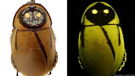 Esta é a 'Lucihormetica luckae', uma espécie de barata descoberta no Equador. Desde a primeira descoberta de uma barata fluorescente em 1999, mais de uma dezena de espécies já foram encontradas. Todas estão em áreas remotas. Esta é uma das novas espécies anunciadas pelo Instituto Internacional para a Exploração de Espécies da Universidade do Arizona, nos Estados Unidos