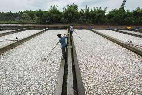 Centenas de toneladas de peixes mortos foram encontradas na China