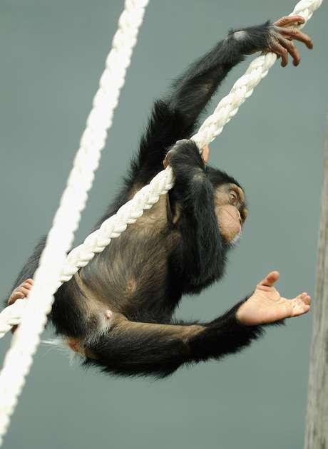 """Institutos irão """"aposentar"""" chimpanzés"""