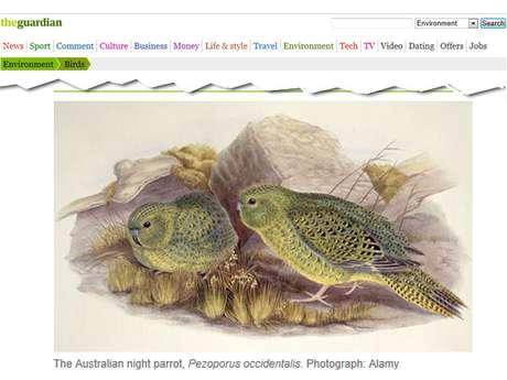 Ilustração do raro pássaro da espécie Pezoporus occidentalis