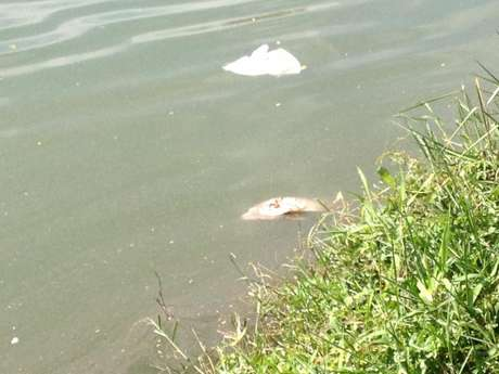 Mortes de peixes, frequentes no parque, não são causadas por falta de oxigênio ou poluição, garante Secretaria do Verde e do Meio Ambiente