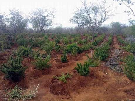 Após denúncia anônima, a plantação foi localizada em uma roça, dividida em sete plantios