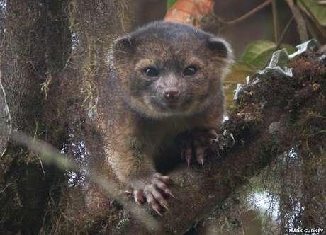 Nova espécie foi confirmada por DNA. É o primeiro mamífero carnívoro das Américas em 35 anos