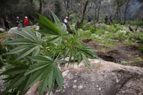 <p>México permite actualmente la tenencia de hasta cinco gramos de marihuana para consumo propio y establece delitos penales para cualquier cantidad superior.</p>