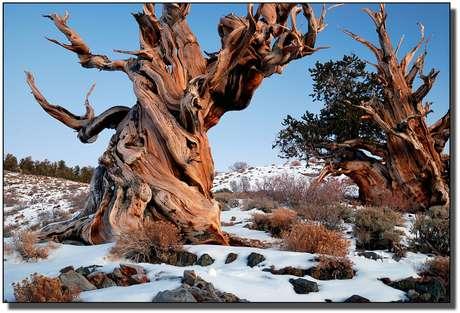 <p>Dia da Árvore: floresta na Califórnia tem as mais antigas árvores do planeta</p>