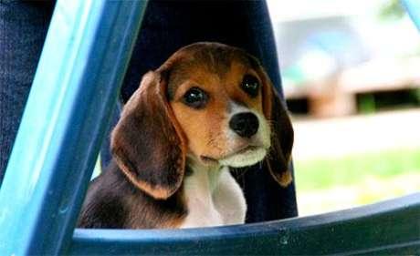 <p>Cão da raça beagle</p>