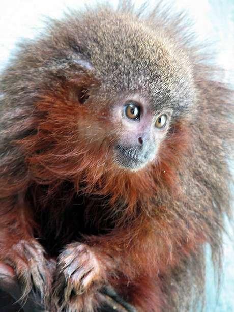 O zogue-zogue Caqueta titi é uma das 20 espécies existentes desse tipo de macaco que vive na Amazônia